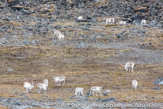 Spitsbergen-reindeer, Krossfjord