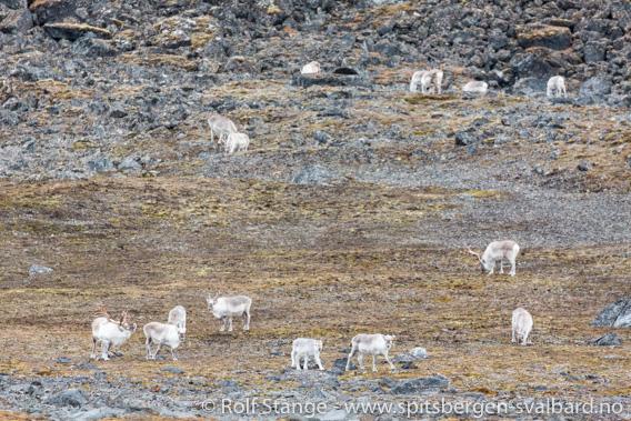 Svalbardrein i Krossfjorden