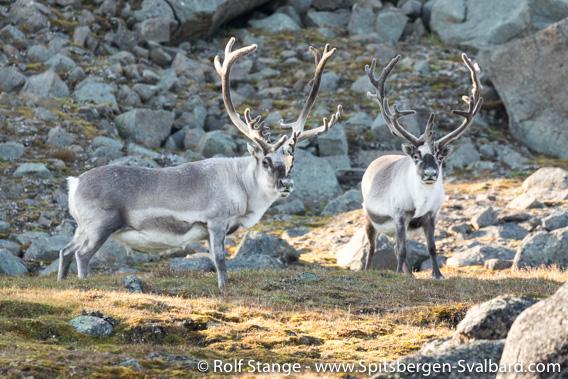 Spitsbergen-reindeer: strong males, Straumsland
