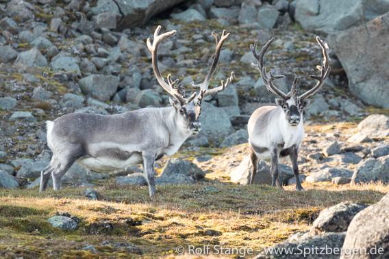 Spitzbergen-Rentier: Böcke, Straumsland