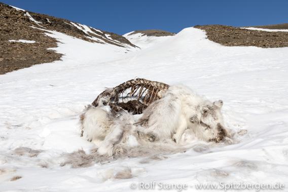 totes Spitzbergen-Rentier