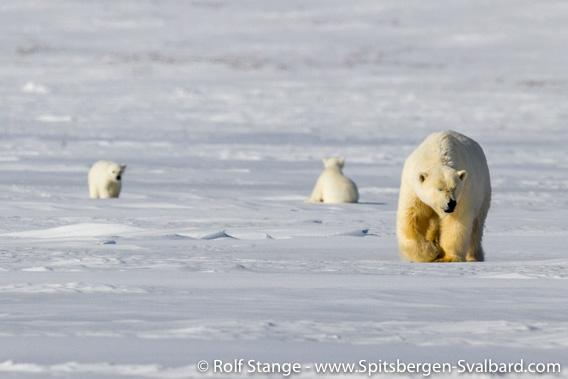 Eisbären Tempelfjord