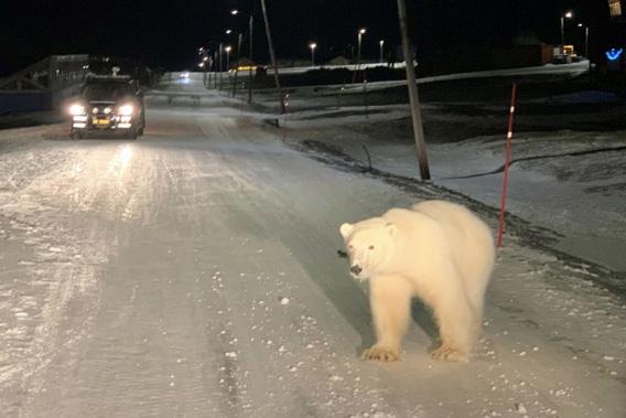 Isbjørn, Longyearbyen sentrum