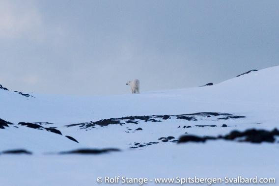 Polar bear, Diabasodden