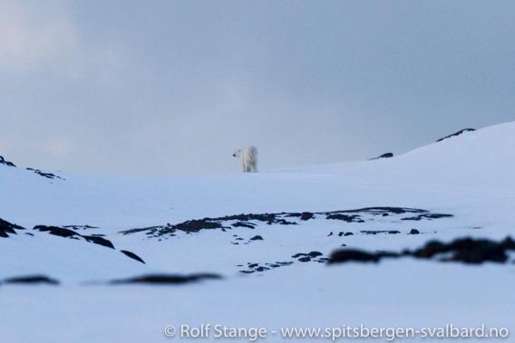 Isbjørn, Diabasodden