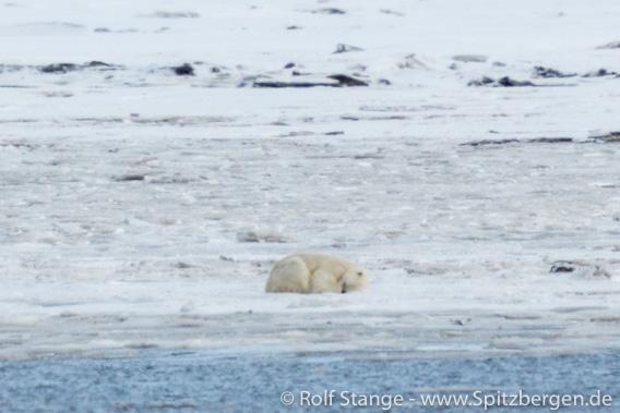 Eisbär, Adventdalen