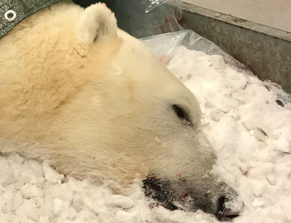 Dead polar bear, New Year's Day 2020