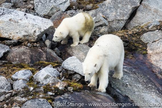Ung isbjørn