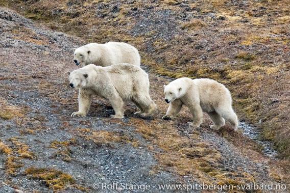 Isbjørner (Edgeøya)