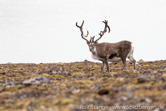 Rentier und Tundra, Signehamna