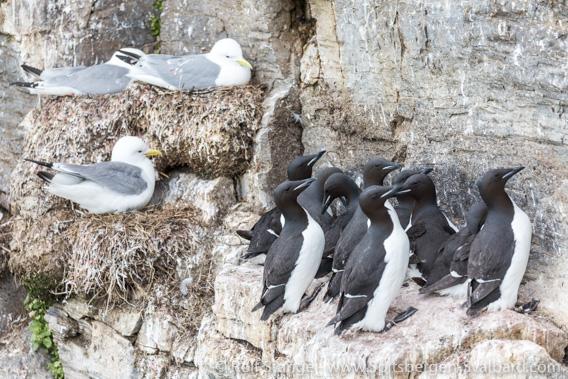 Seabird colony at Ossian Sarsfjellet