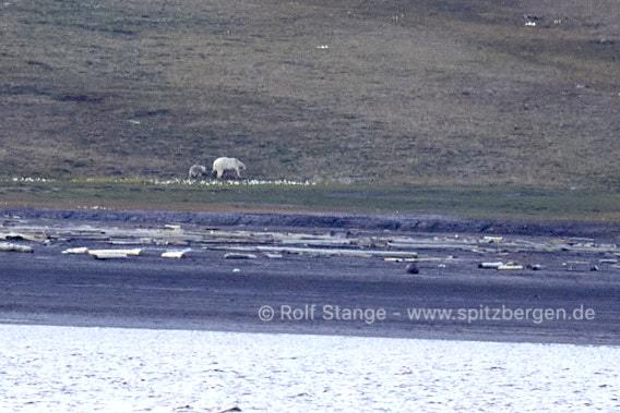 Eisbären bei Longyearbyen