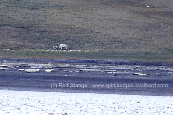 Polar bears near Longyearbyen