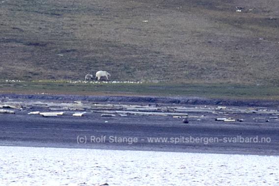 Isbjørner ved Longyearbyen
