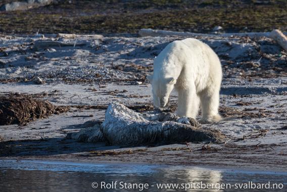 Isbjørn, Phippsøya