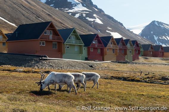 Rentiere, Longyearbyen