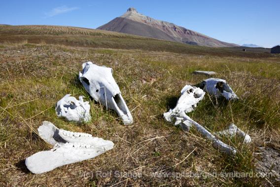 Pyramiden: Mimerdalen, horses