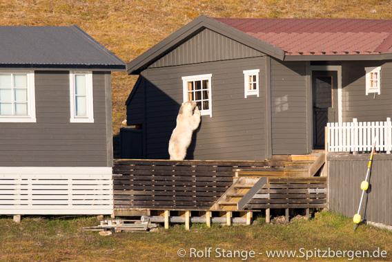 Eisbär, Adventfjord