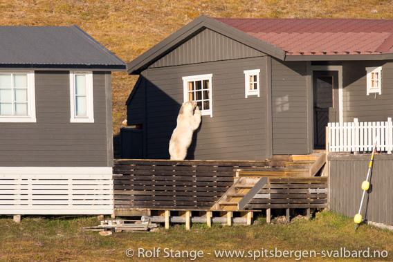 Isbjørn, Adventfjorden
