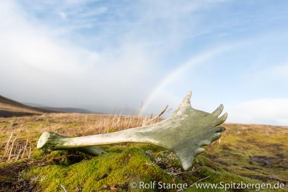 Rentiergeweih, Tundra