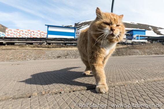 Katze, Barentsburg