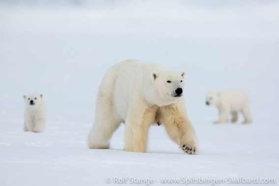 Polar bears, Billefjord