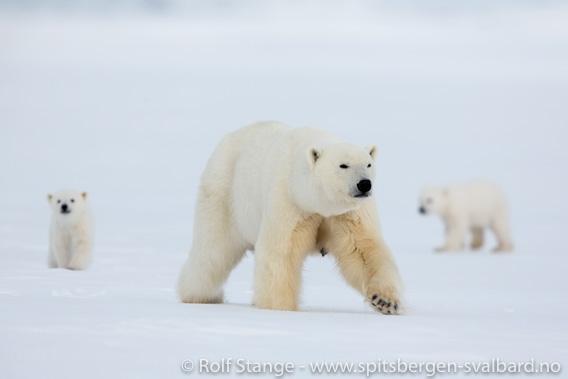 Isbjørn, Billefjorden