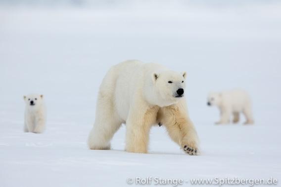 Eisbären, Billefjord