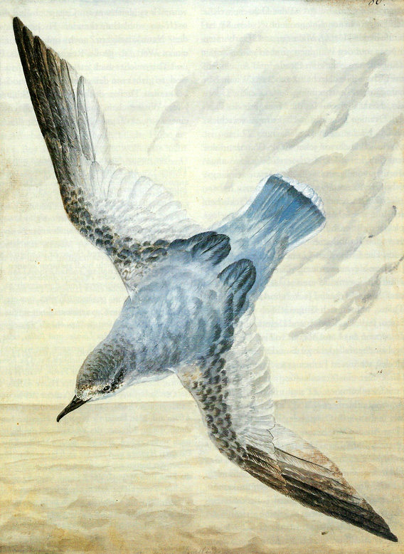 Blauer Sturmvogel (Procellaria similis), Illustration von Georg Forster