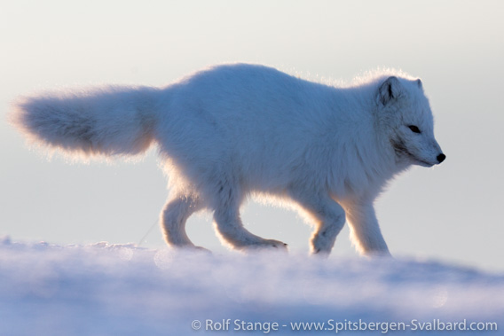 Arctic fox: lice detected