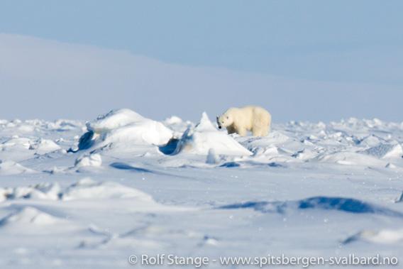 Isbjørn skutt i Mohnbukta på Svalbard