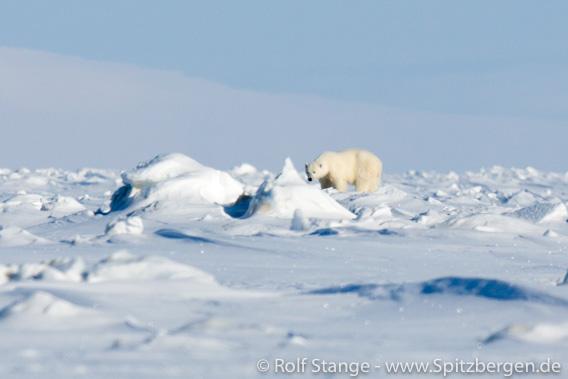 Eisbär in der Mohnbukta in Spitzbergen erschossen