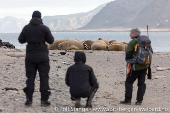 Guide med turister og hvalrosser på Svalbard