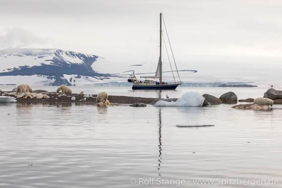 Nordaustland isbjørn