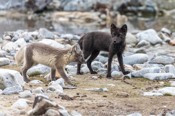 Polar foxes, Magdalenefjord