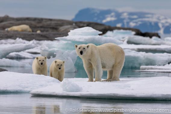 Polar bears, Nordaustland