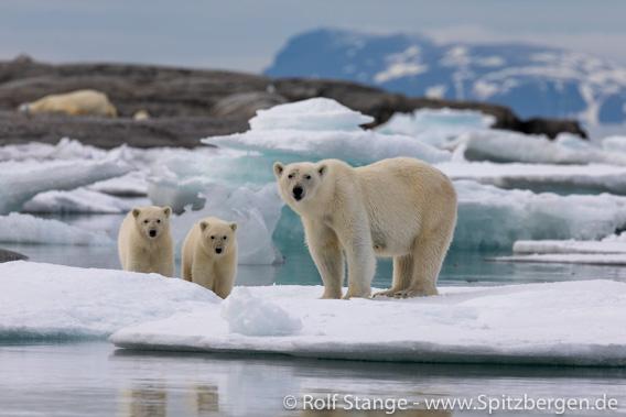 Eisbären, Nordaustland