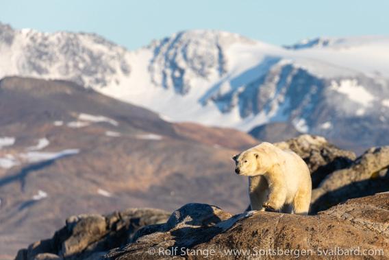 Polar bear, Raudfjord