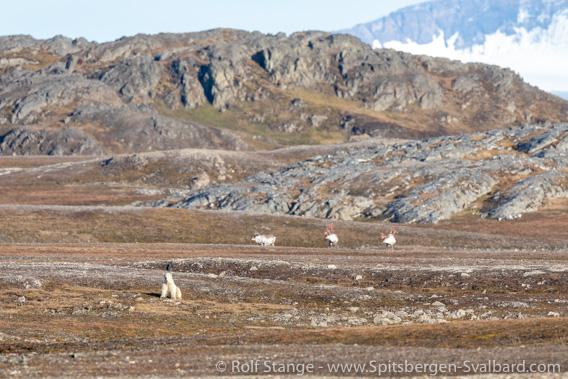 Polar bear, Forlandsund