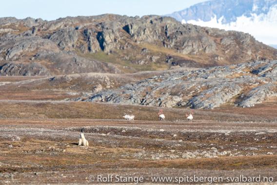 Isbjørn, Forlandsund